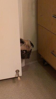 Creeper pug