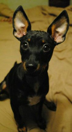 My baby <3 MinPin/Dachshund/Jack Russell Terrier mix