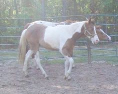 blue eyed buckskin tobiano super gentle colt! for sale in tx, United States of America :: HorseClicks