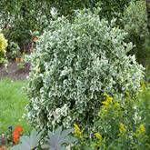 Euonymus fortunei Emerald Gaiety - 1 heester kopen veilig online bestellen