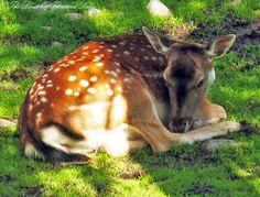 Kuusipeura Finland, Animals, Animales, Animaux, Animais, Animal