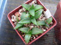 Bulbine inamarxiae Succulent Plants, Planting Succulents, Celery, Green Beans, Vegetables, Food, Succulents, Cactus, Essen