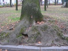 http://drzewa.nk4.netmark.pl/zasoby/atlas/_inne/_inne_903.jpg