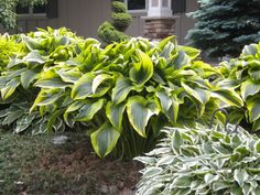 Large Hosta Varieties Identification | Montana Aurea Hosta, Very Large.