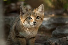 The Sand Cat Small Wild Cats, Big Cats, Cats And Kittens, Black Footed Cat, Leopard Cat, Cheetah, Sand Cat, Spyro The Dragon, Gatos