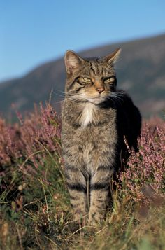 Scottish Wild Cat,  Cairngorms National Park, Scotland.