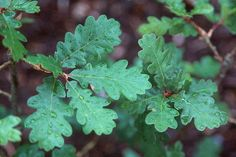 Quercus garryana var. brewrei  leaves and acrons