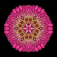 Violet Zinnia Elegans XI flower mandala