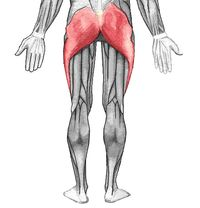 The gluteal muscles are a group of four muscles. Three of these muscles make up the buttocks: the gluteus maximus muscle, gluteus medius muscle and gluteus minimus muscle. The fourth and smallest of the muscles is the tensor fasciae latae muscle, which is located anterior and lateral to the rest. The muscles of the gluteal region can be broadly divided into two groups:  A group of large muscles that abduct and extend the femur, A group of smaller muscles, that mainly laterally rotated the…