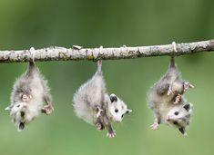 Possum et Opossum (2)