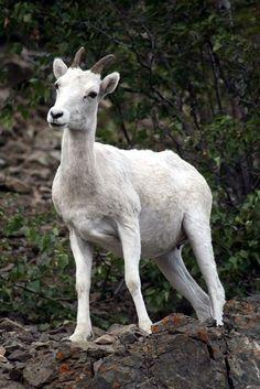 Dall's Sheep   Ovis dalli