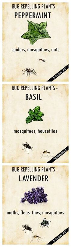 PLANTS THAT KEEP BUGS AWAY Worried how to repel mosquitoes and houseflies naturally? Simply get your garden area some pots of basil, and you are done. It belongs to the family of powerful, pungent herbs that can perfect companions to keep the bugs away. Organic Gardening, Gardening Tips, Indoor Herb Gardening, Gardening Shoes, Organic Horticulture, Balcony Gardening, Organic Plants, Urban Gardening, Gardening Supplies