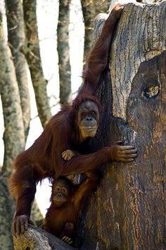 Orangutan and Baby Orangutan and Baby Primates, Sumatran Orangutan, Baby Orangutan, Baby Animals, Funny Animals, Cute Animals, Beautiful Creatures, Animals Beautiful, Save The Orangutans