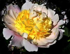 Chinese Peony by Althytrion  @deviantART