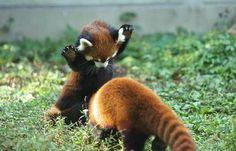 panda roux (12)