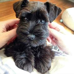 See this Instagram photo by @schnauzerworld • 6,307 likes