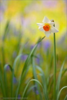 Martin Bailey   Watercolour Daffodil