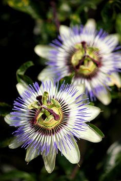 Passion flowers are so AWESOME. We have them in our yard sometimes.
