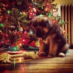 German Shepherd Christmas puppy