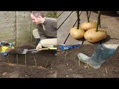 Cómo reproducir rosales por esqueje empleando patatas | Plantas