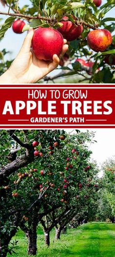 How to Grow Apple Trees at Home There's an old saying that society grows great when people plant trees they'll never enjoy the shade of. That's a fine sentiment, but why not enjoy the fruits of our labor along the way? Planting Apple Trees, Growing Apple Trees, Fruit Tree Garden, Garden Trees, Growing Tree, Trees To Plant, Growing Plants, Apple Garden, Growing Gardens