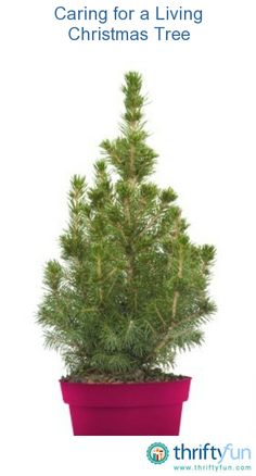 This guide is about caring for a live Christmas tree. Enjoying the fragrance and presence of a living holiday tree requires daily attention.