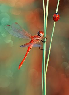 Dragonfly and Ladybug photo by Mustafa Öztürk Cool Insects, Flying Insects, Bugs And Insects, Beautiful Bugs, Beautiful Butterflies, Amazing Nature, Dragonfly Photos, Dragonfly Art, Beautiful Creatures