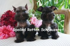 Chocolate Teacup   Toy schnauzer puppies. Cropped Ears (vs) Natural Ears. photo taken by spoiled rotten schnauzers.
