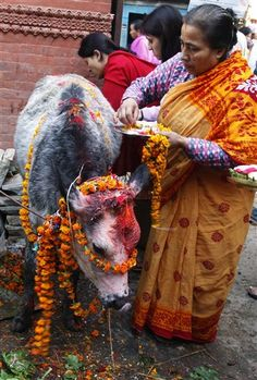 Nepalese women decorate a cow, which is holy for Hindus, during Diwali, or festival of light, in Katmandu, Nepal,