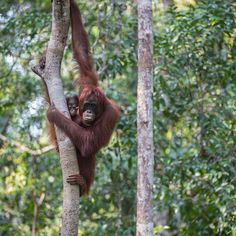 Photo by @andywcoleman // For the first two years of a young orangutans life it is dependent on its mother for food and transportation. A baby #orangutan clings to its mother while she moves through the trees.  Even when young orangutans are too old to be carried and fed by their mother they may still remain close to her eating and resting in the same trees until they are about 10 years old.  We went to #Borneo to see orangutans and we were not disappointed.  When you get a chance to look…