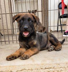 www.elitek-9.com/   #malinois #malinoisofinstagram #maligator #executiveprotectiondogs #exotics Executive Protection, Malinois, Working Dogs, Dog Training, Puppies, Animals, Cubs, Animales, Animaux