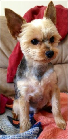 Pictures Of Yorkie Haircuts