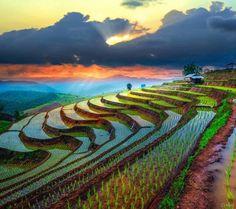Pirinç tarlası