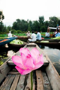 Lotus from Kashmir