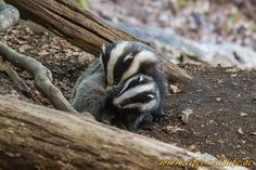 Badgers in a tussle