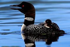Loon has long been a sentinel creature for detecting mercury in our waters. Now ordinary sparrows and backyard birds may join the club. Mercury found in feathers of saltmarsh sparrows living in wetlands of North Cinder in NY Long Island. Loons accumulate mercury from eating fish. Songbirds are poisoned by eating spiders and other bugs.
