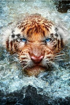 "#Tiger ~ ""Don't Mess With Me Today!"" (Photo By: Leonardi Ranggana.)  #RePin by AT Social Media Marketing - Pinterest Marketing Specialists ATSocialMedia.co.uk"