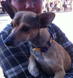 Chi Chi wearing our Lakers Dog Collar. #Lakers #PreciousPawPrints