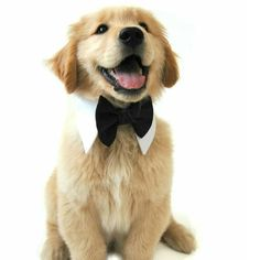 Black Satin Bowtie #bowtie #goldenretriever #dogbowtie  purchase at: http://ift.tt/1VfCGtb by designerdudsfordogs