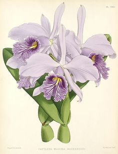 Cattleya maxima botanical illustration, 1886.