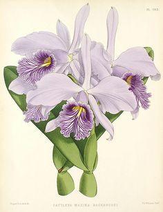 Cattleya maxima botanical illustration, 1886.