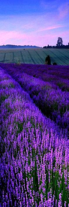 COLOR MORADO ❤ PÚRPURA ❤ Lavender fields