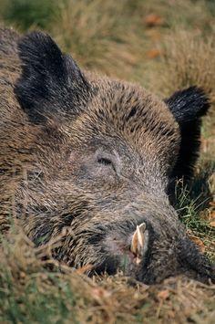 Nice Keiler schlaeft in der warmen Fruehlingssonne Schwarzkittel Wildschwein Sus scrofa