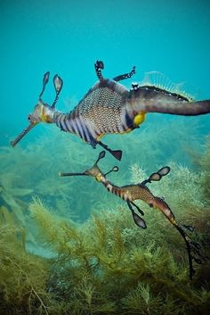 Marine Life - Sea Dragons- oh my gosh incredible creatures Underwater Creatures, Underwater Life, Ocean Creatures, All Gods Creatures, Weird Creatures, Beautiful Creatures, Animals Beautiful, Weedy Sea Dragon, Dragon Fish
