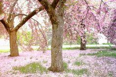 Sign In Sakura Cherry Blossom Cherry Blossom Cherry Blossom Tree