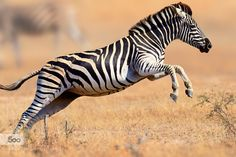 Zebra running and jumping by MariSwanepoel. Please Like http://fb.me/go4photos and Follow @go4fotos Thank You. :-)