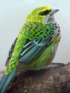 Speckled Tanager, Costa Rica - (c) Matt Denton