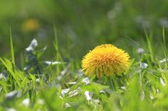 Der echte Löwenzahn hat sich mittlerweile auch in den empirischen Wissenschaften als wertvolle Heilpflanze etabliert.Löwenzahn unterstützt die Verdauung, regt Leber- und Gallentätigkeit an, hilft ...