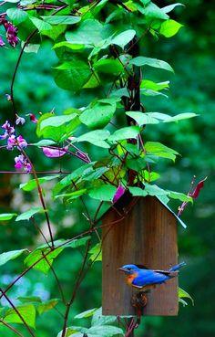 Purple hyacinth bean vine.