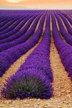 flores y paisajes-Lavender field at plateau de Valensole, Provence, France Purple Love, All Things Purple, Shades Of Purple, Purple Stuff, Purple Flowers, Beautiful Flowers, Beautiful Places, Beautiful Artwork, Amazing Places